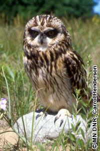 Species Profile Minnesota DNR - Owl and mouse us map