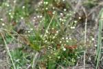 Androsace septentrionalis