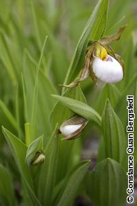 Cypripedium candidum