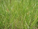 Carex pallescens