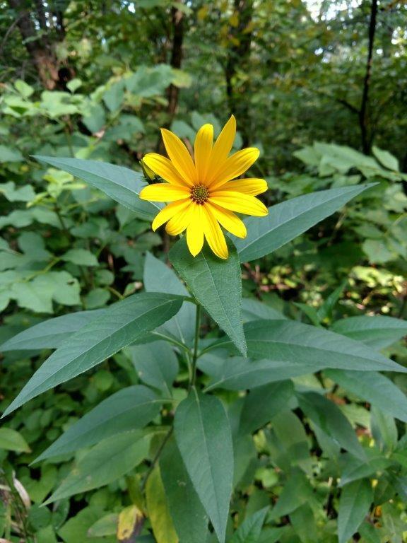 Sunflower along the Sakatah Singing Hills State Trail