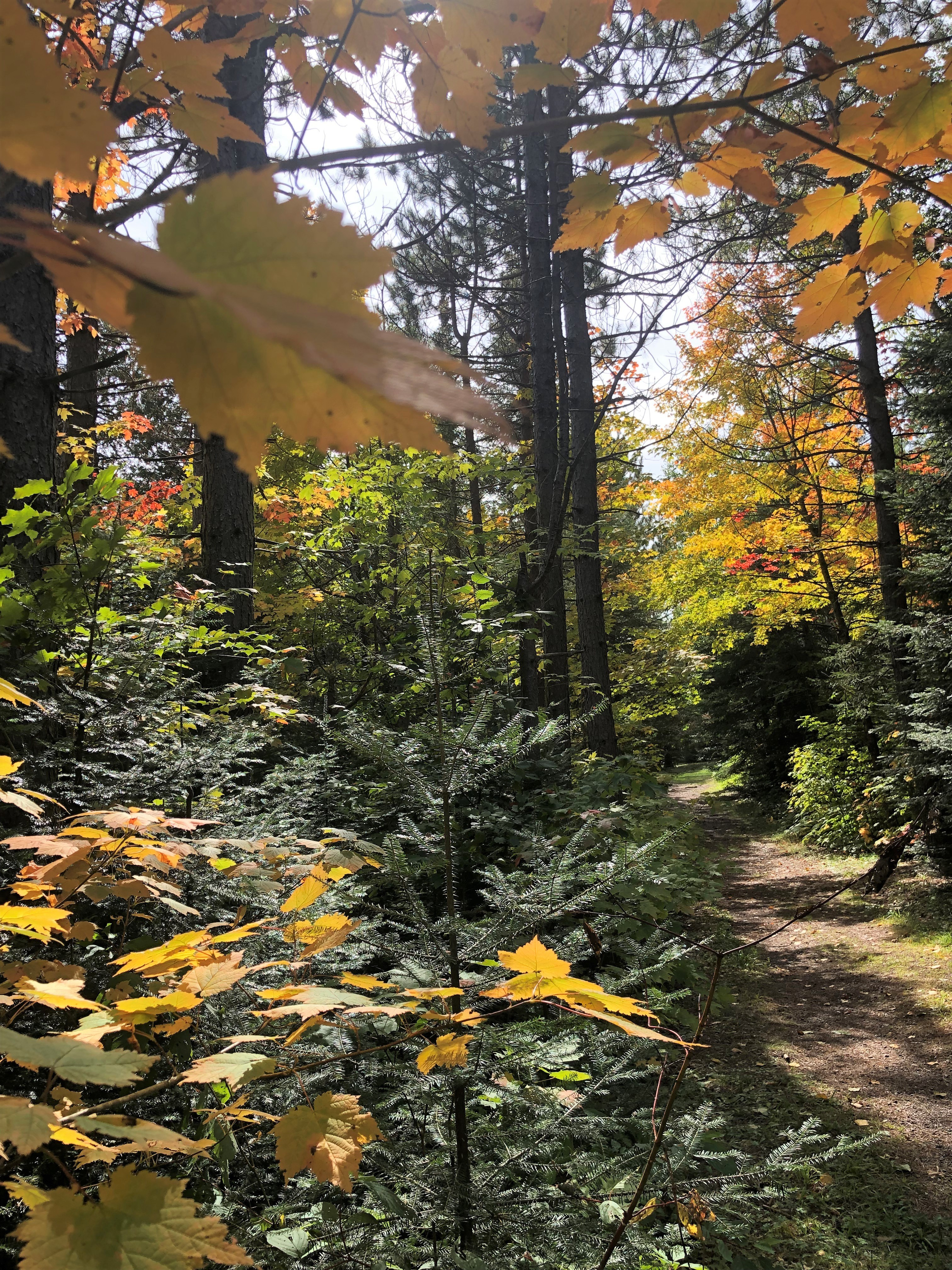 Walk in a canopy of gold at George Crosby Manitou State Park