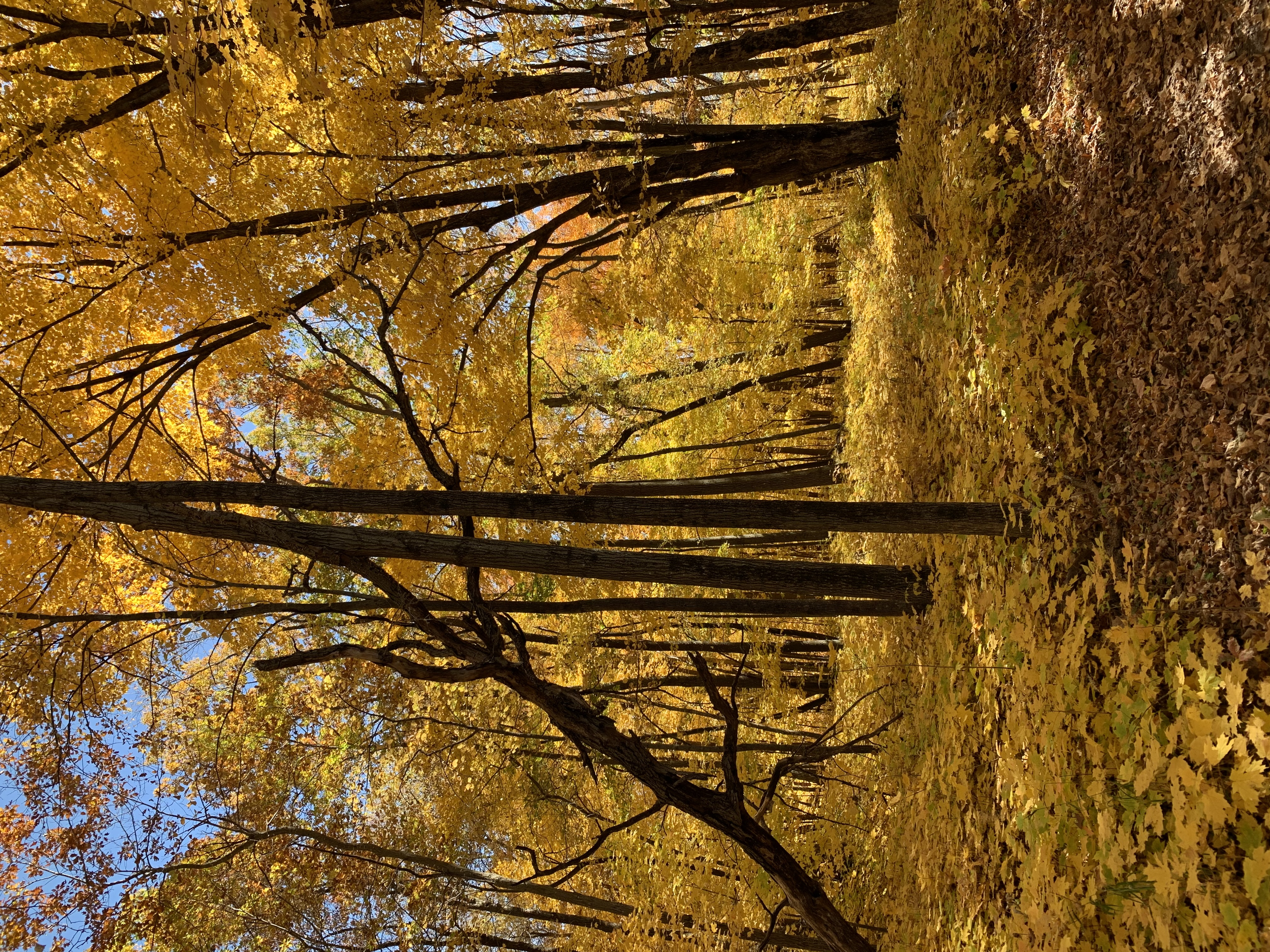Picnic area that glows yellow from the sun reflecting the bright yellow leaves on the trees at Rice Lake State Park.