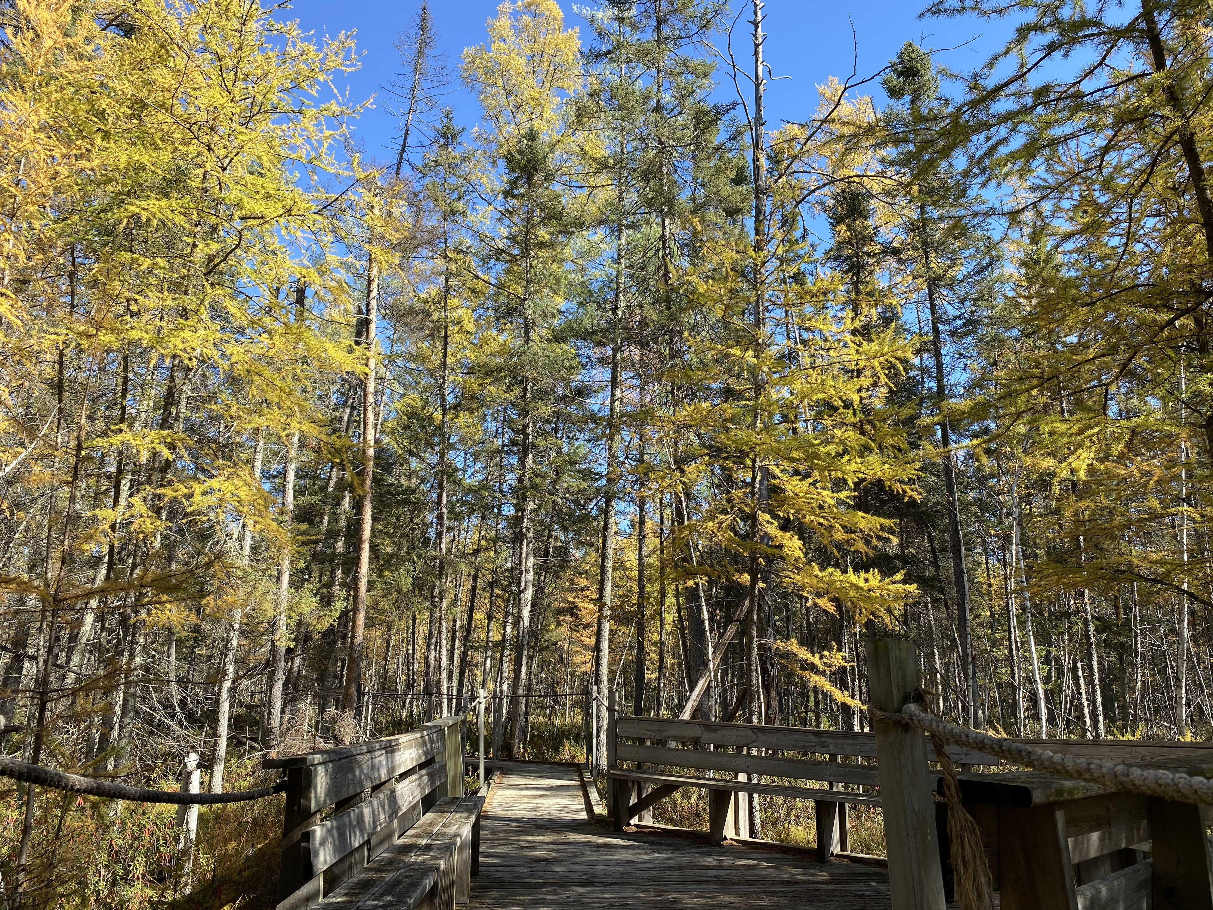 Yellow tamaracks line the bog boardwalk at Mille Lacs Kathio State Park.