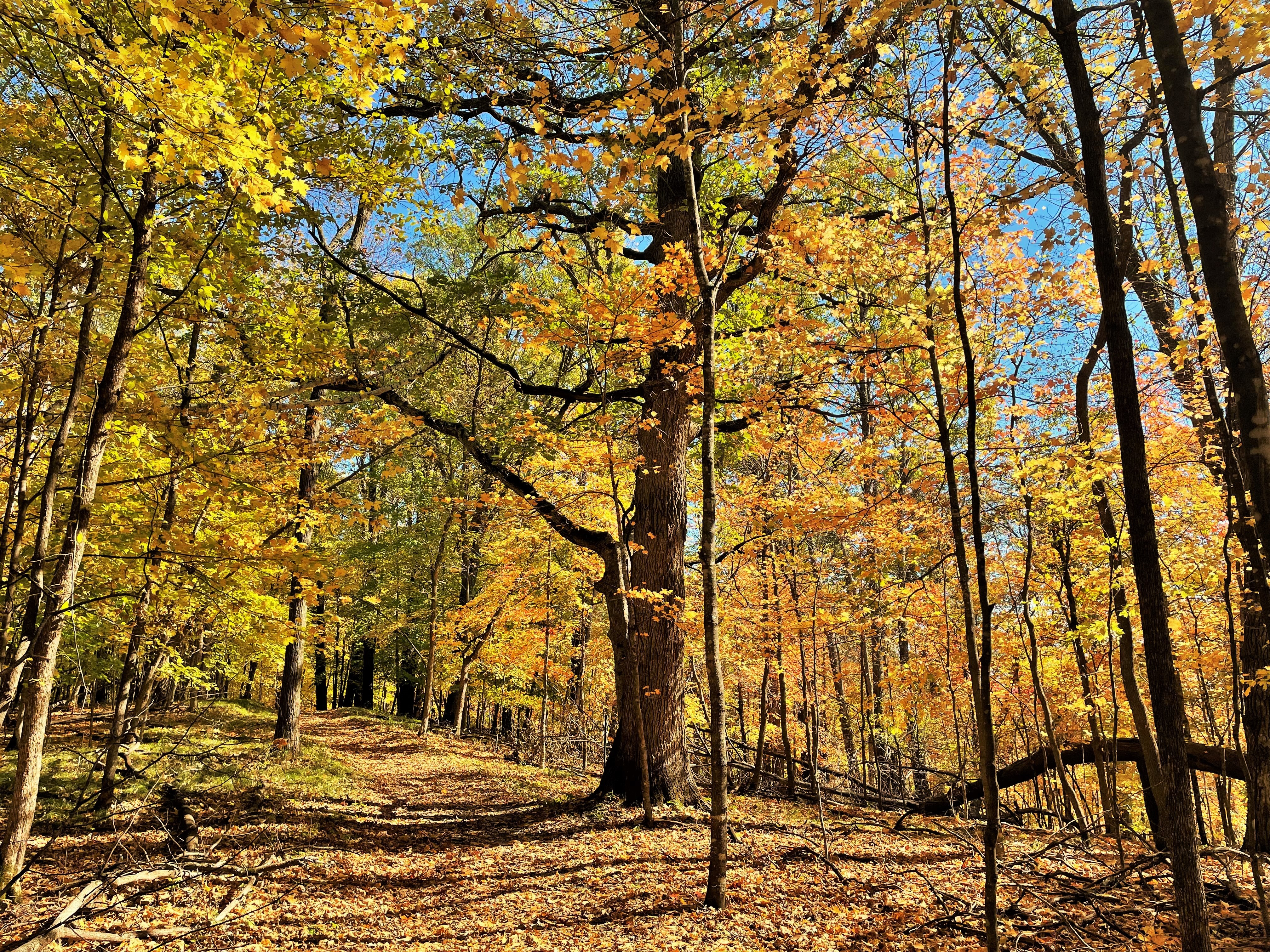 Yellow leaves blanket a dirt path through the woods. The path is lined by trees featuring bright yellow leaves.